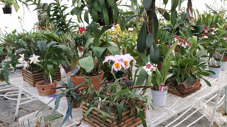 The Orchidgarden We Grow Botanical And Hybrid Orchids