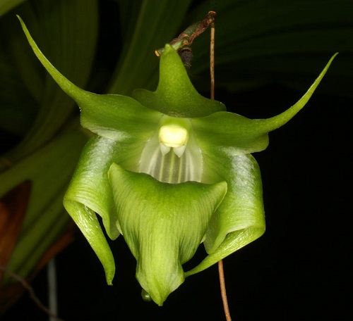 Orchid_Aeranthes_57fb807e32363.jpg
