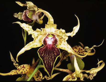 Orchid_Dendrobiu_56f26ee98c396.jpg