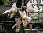 Orchid_Stanhopea_57fb7a7a2a20f.jpg