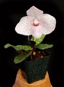 Orchid_Paphioped_57d41a3d74332.jpg