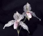 Orchid_Paphioped_584dc28c0701e.jpg