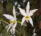 Orchid_Laelia_an_58cd550230f02.jpg