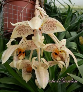Orchid_Stanhopea_5751ac66072fa.jpg